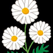 flower_marguerite
